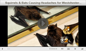 TriState Wildlife on CBS2 News - Westchester Bat Removal